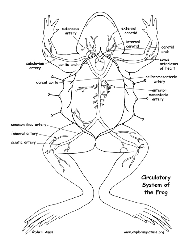 Frog Circulatory System Diagram And Labeling