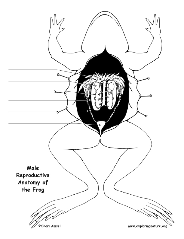 Frog Reproductive Anatomy Diagram and Labeling