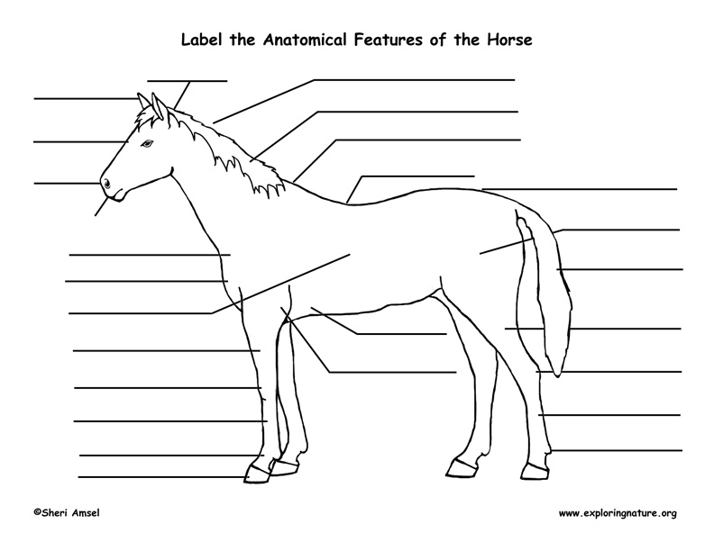 Horse (External Anatomy)