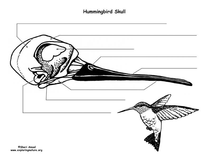 Hummingbird Skull Diagram And Labeling