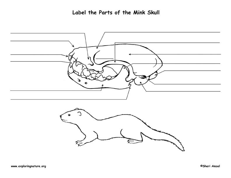 mink skull diagram and labeling