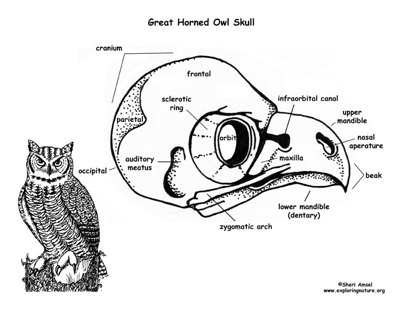 Owl  Great Horned  Skull Diagram And Labeling