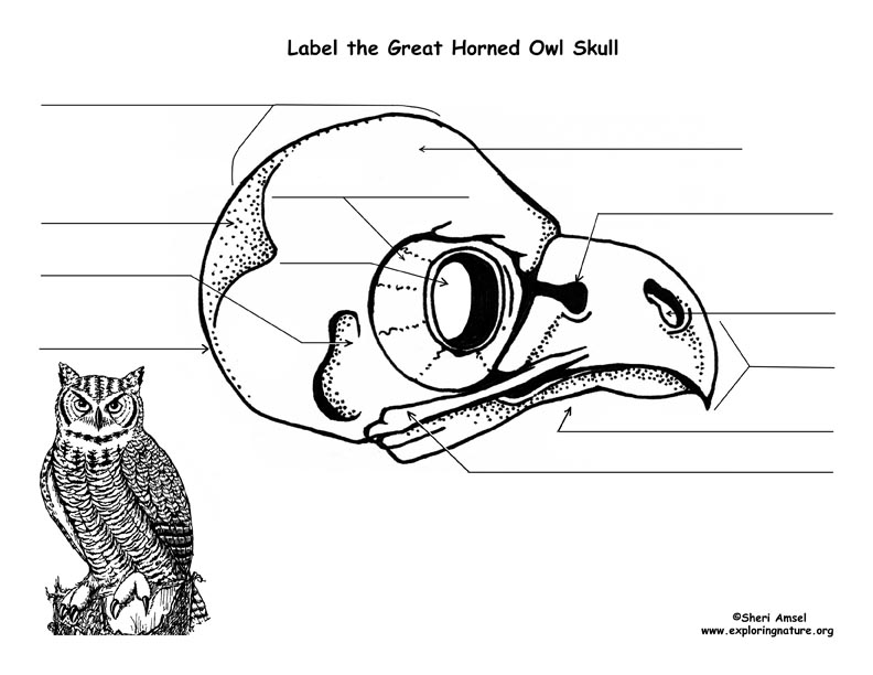 Owl (Great Horned) Skull Diagram and Labeling - photo#11
