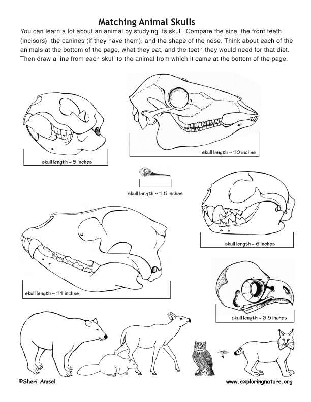 Match the Animals to their Skulls