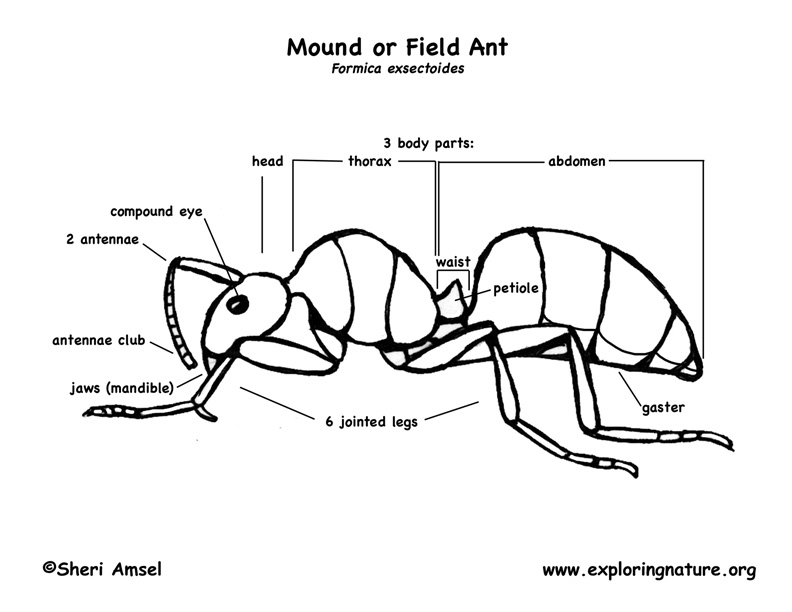 Ants (Mound or Field)