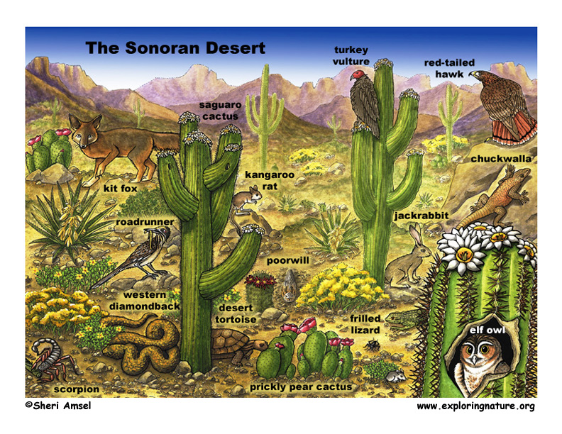 Sonoran Desert Scene with Species Named