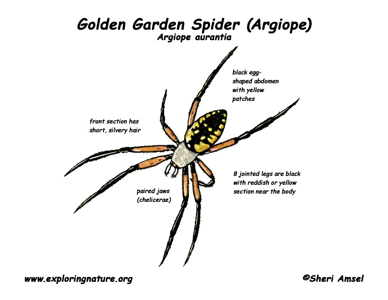 Spider (Golden Garden) or Argiope