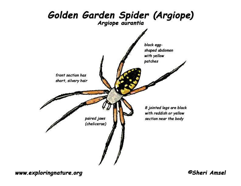 spider  golden garden  or argiope