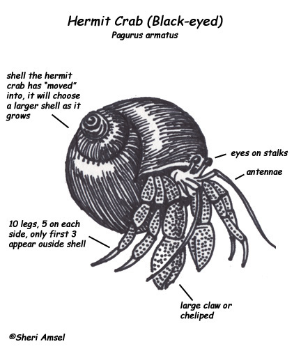 Hermit Crab DiagramCrab Diagram