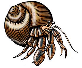 Hermit Crab (Black-eyed)