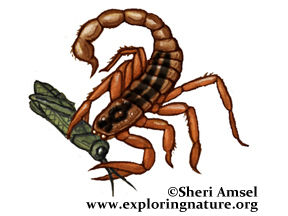 Scorpion (Common Striped)