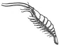 Shrimp (Sand)