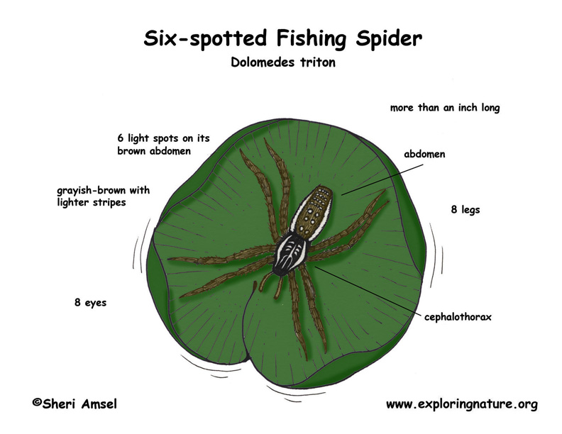 Spider  Six-spotted Fishing   Labeled Spider