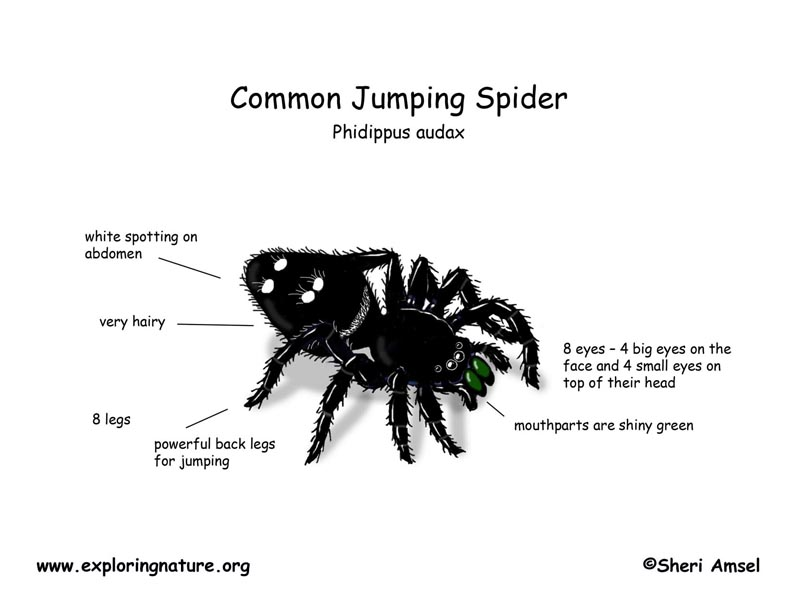 spider (common jumping) Spider Egg Diagram dead spider eggs, and egg predators and
