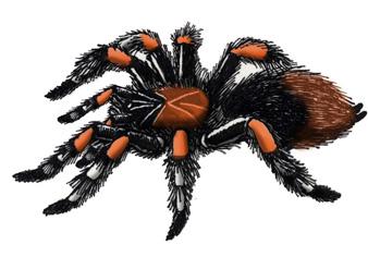 Tarantula (Mexican Red-legged), Mexican Red-legged Tarantula