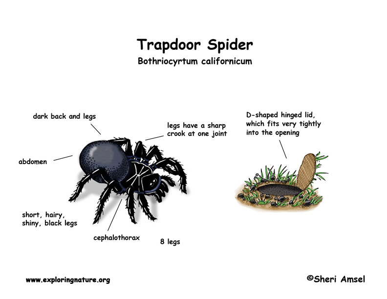 Spider  Trapdoor