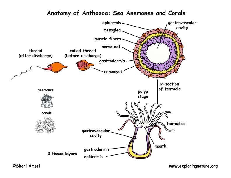 Class Anthozoa Sea Anemones