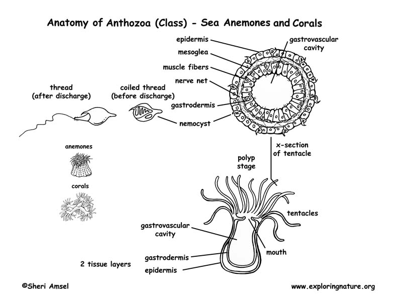 Coral Diagram Labeled