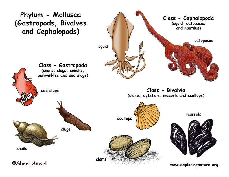 Phylum - Mollusca (Gastropods, Bivalves, Cephalopods)