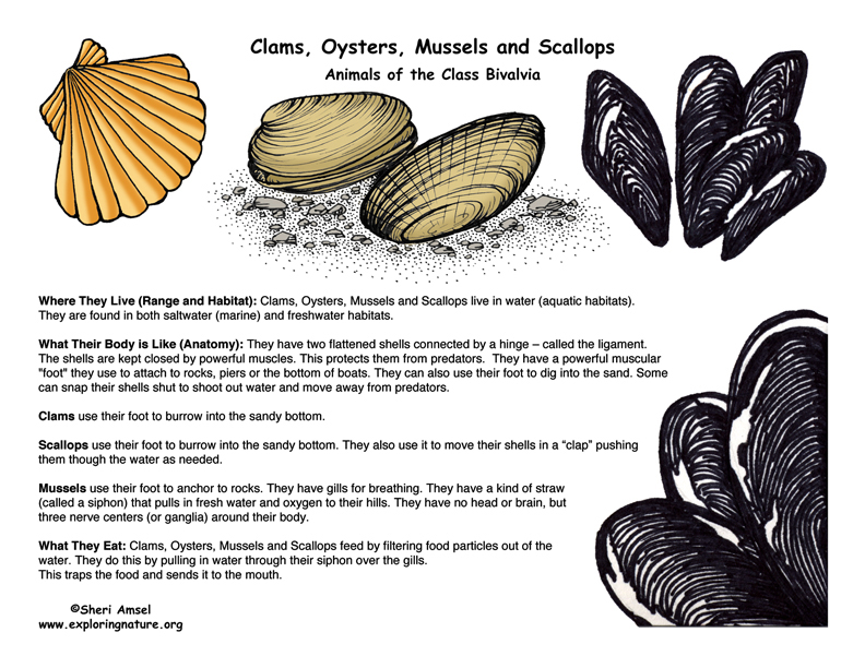 Clams Oysters Mussels And Scallops Bivalve Group