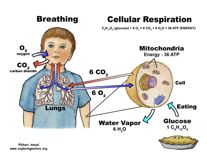 human biology coursework respiration A level biology resources past paper questions coursework help : a level biology resources respiration, homeostasis dynamics of ecosystems and human.