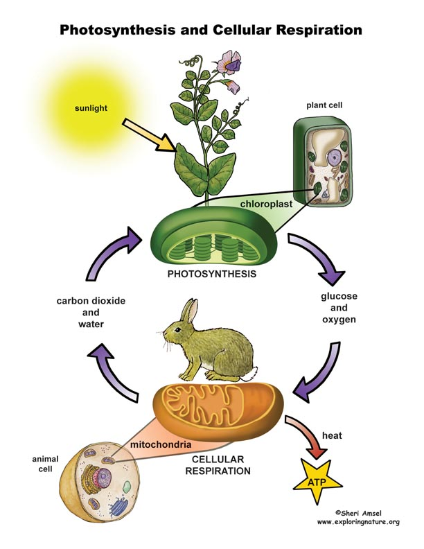 Photosynthesis and Cellular Respiration Illustrated and Labeled