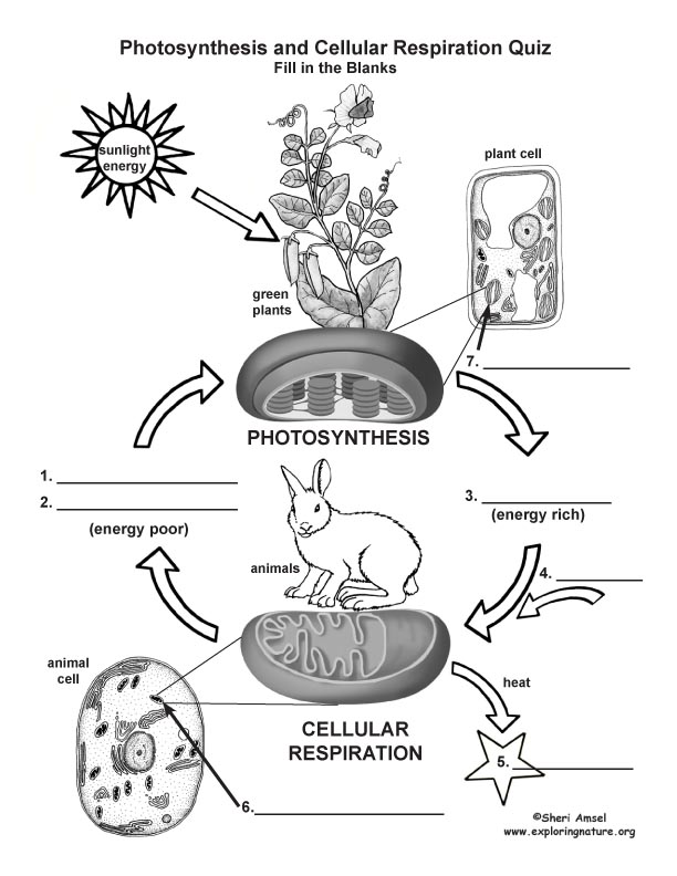 photosynthesis  u0026 cellular respiration