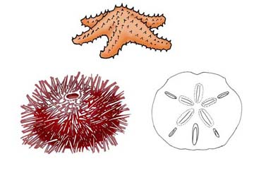 marine biology echinoderms Dynamic tissue most convincingly is the marine demosponge chondrosia   chanically adaptive connective tissue of echinoderms: its potential for bio.