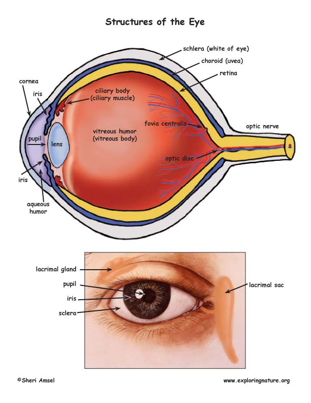 Vision and the Structure of the Eye