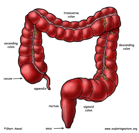 Anatomy of large and small intestine