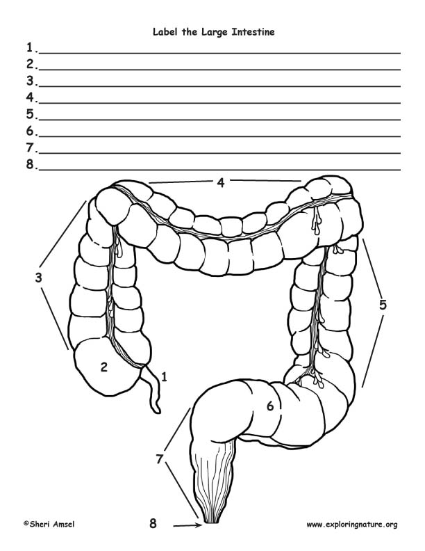 Large Intestine Labeling