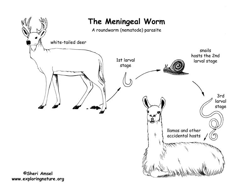 Phylum - Nematoda (Roundworms)