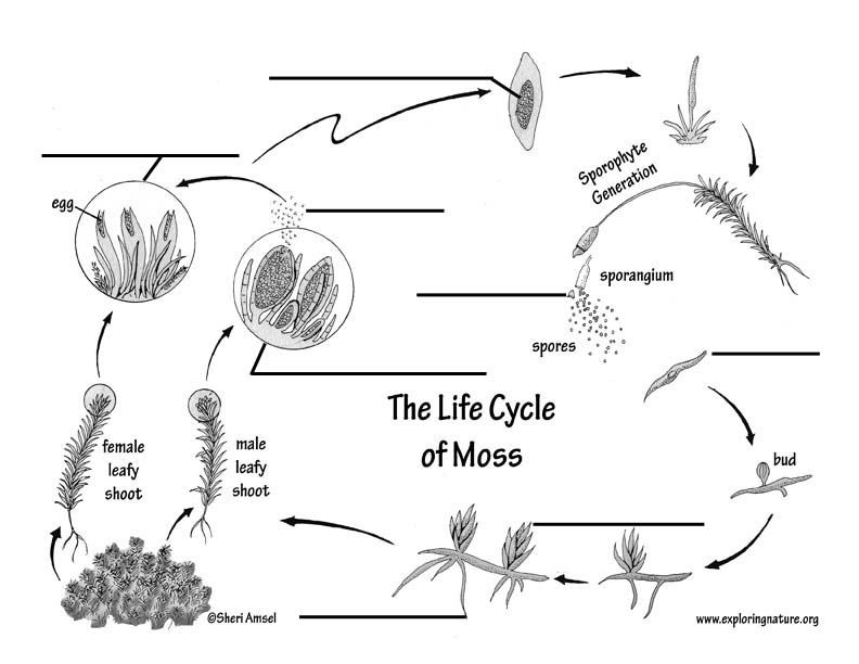 Moss Life Cycle Labeling Page