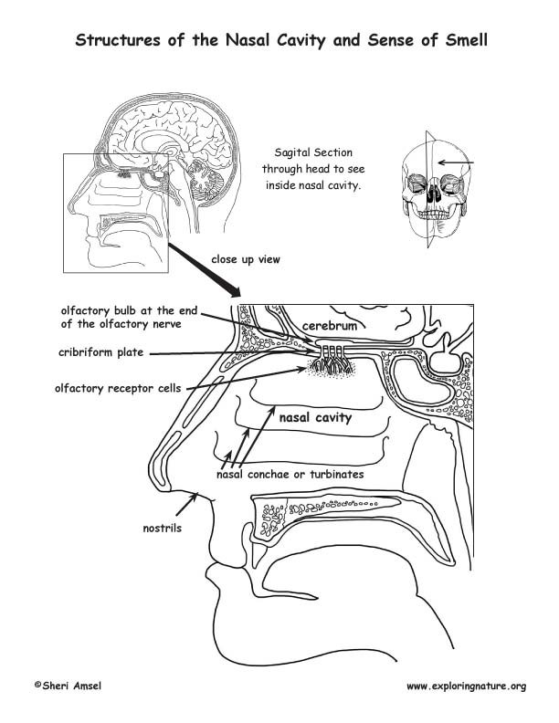 Smell and the Structure of the Nasal Cavity