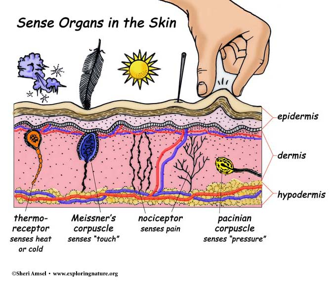 Touch and the Sensory Receptors of the Skin