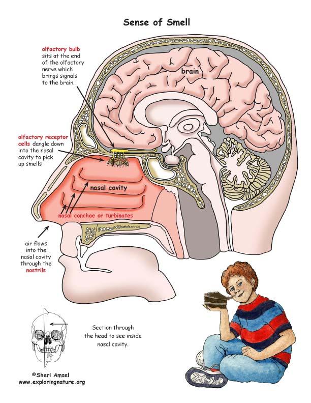 Brain Diagram Scents Block And Schematic Diagrams