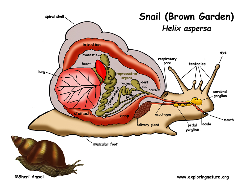 Snails, Slugs, Conchs, Periwinkles and Sea Slugs (Gastropod Group)