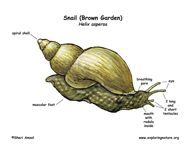 Snail (Garden)