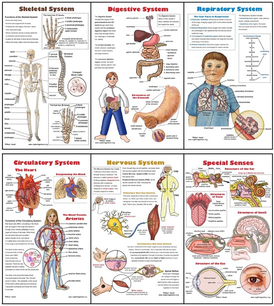 Human body posters anatomy