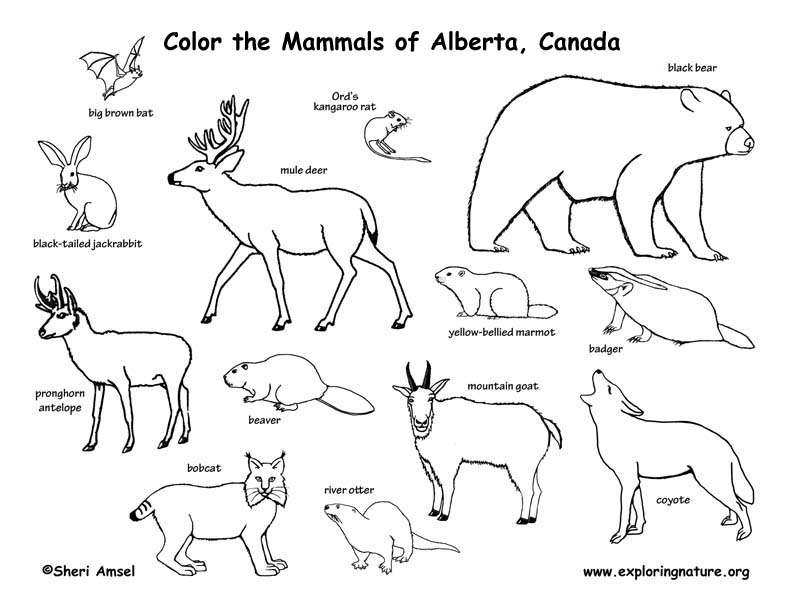 coloring pages of canadian animals - photo#13