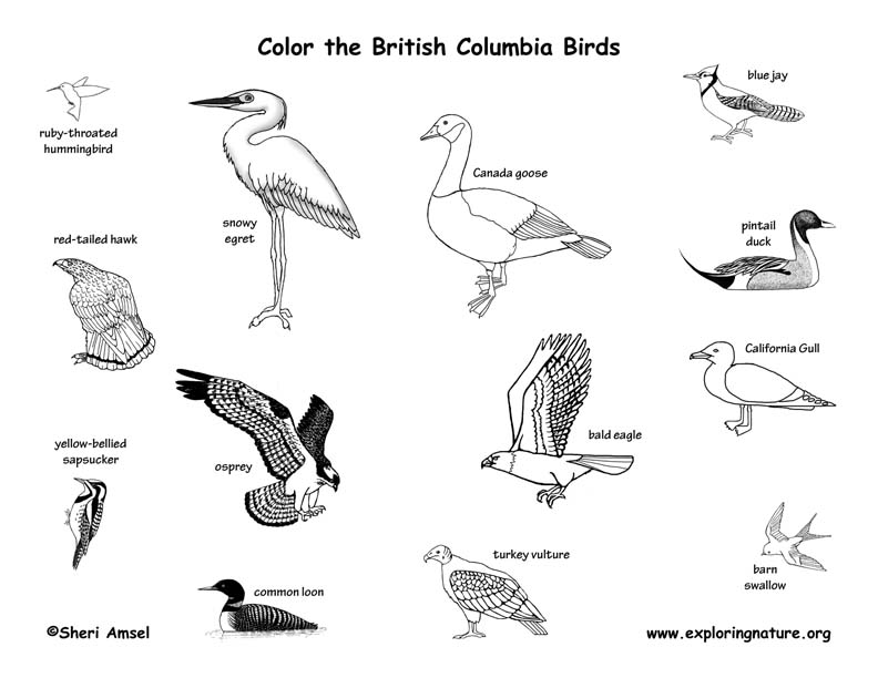 Canadian Province - British Columbia birds coloring page