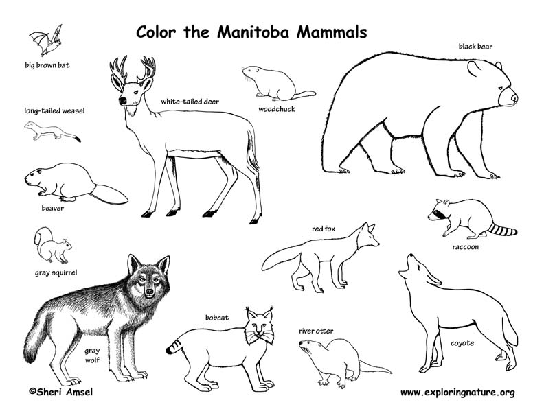 Canadian Province - Manitoba mammals coloring page