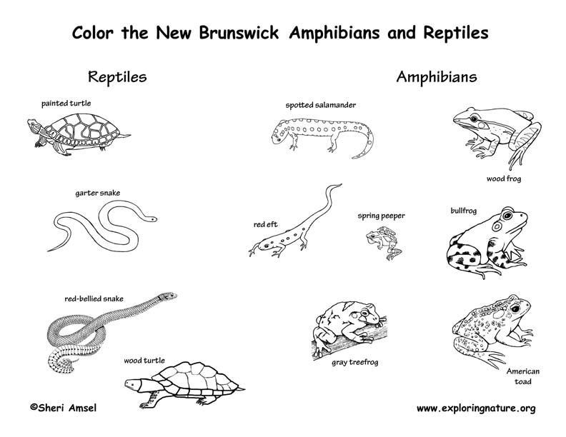 Canadian Province - New Brunswick amphibians and reptiles coloring page