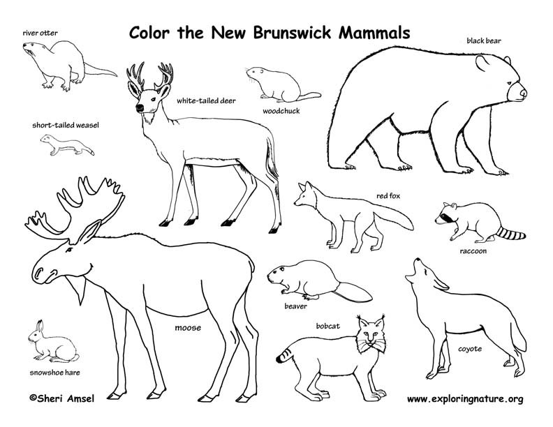 Canadian Province - New Brunswick mammals coloring page