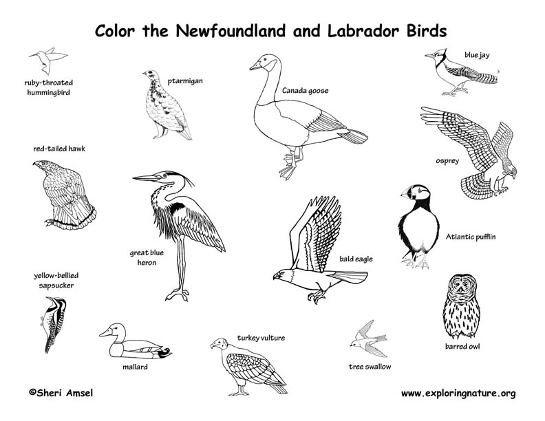 Canadian Province - Newfoundland and Labrador birds coloring page
