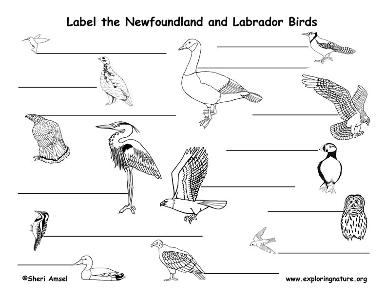 Canadian Province - Newfoundland and Labrador birds labeling page