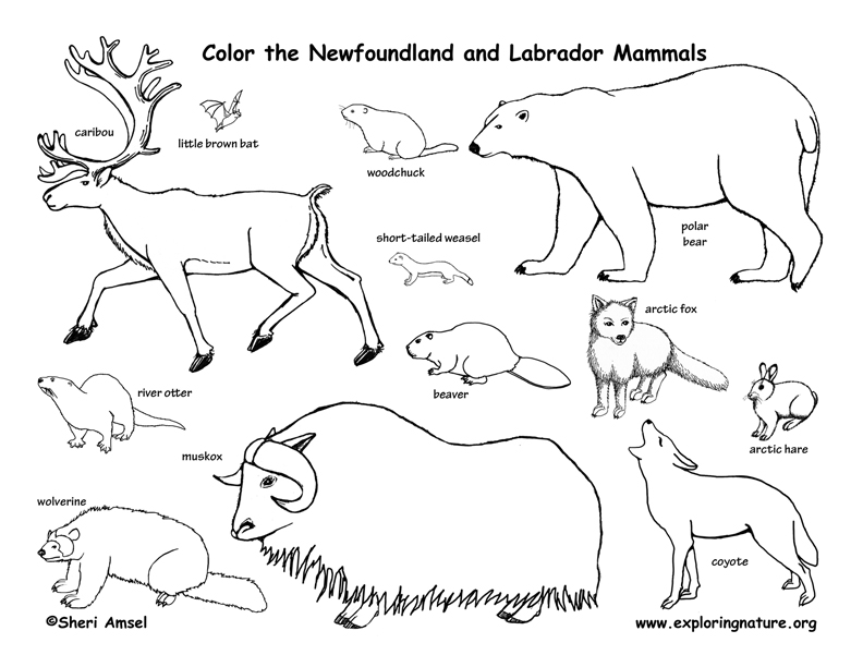 Canadian Province - Newfoundland and Labrador mammals coloring page