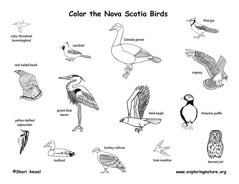 Canadian Province - Nova Scotia birds coloring page