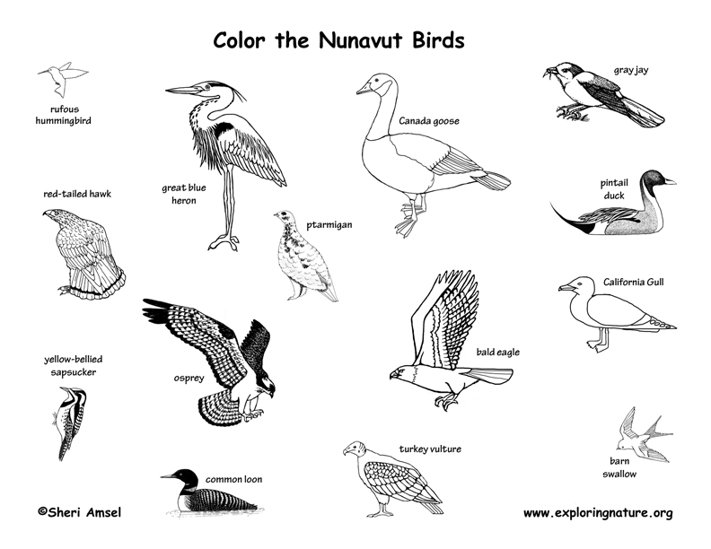Canadian Territory - Nunavut birds coloring page