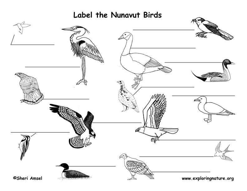 Canadian Territory - Nunavut birds labeling page